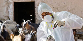 Eritrea: Scientists Ponder tools in brucellosis fight