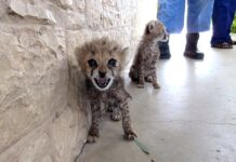 Somaliland illicit cheetah