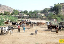 Eritrea Nationwide livestock vaccination