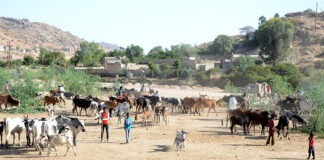 Eritrea Nationwide livestock vaccination